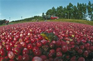 A green frog is seen relaxing on a bed of bright red cranberries as workers in the background prepare to start harvesting the bog of red berries in Carver, Mass., Sept. 28, 1990.  (AP Photo/Charles Krupa)