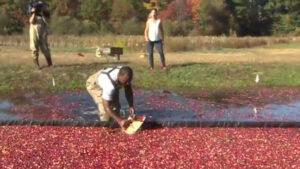 Cranberry Farmers Upbeat About Harvest Despite Challenges