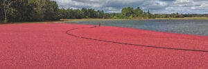 U.S. Cranberry Industry Forecasts 2020 Crop