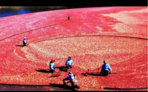 SEEING RED: October is 'Massachusetts Cranberry Month'